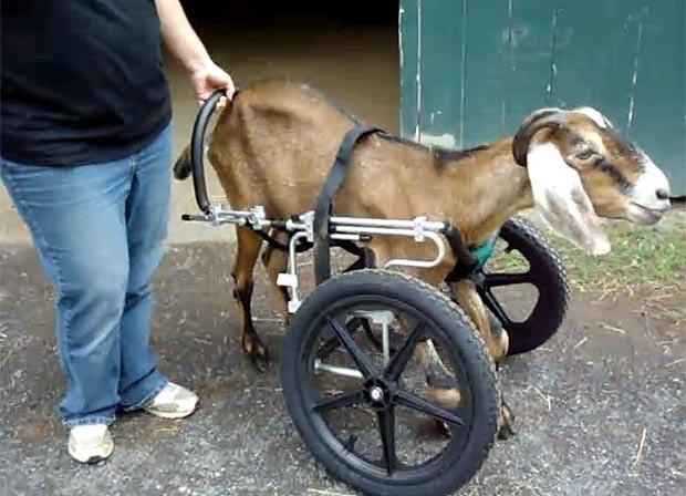 goat-620a_1669571a